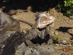 Iguane des Petites Antilles. Source : http://data.abuledu.org/URI/52b864ef-iguane-des-petites-antilles