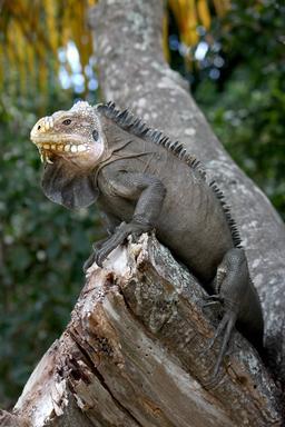 Iguane des Petites Antilles. Source : http://data.abuledu.org/URI/52b865c4-iguane-des-petites-antilles