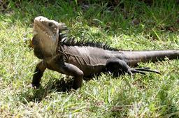 Iguane des Petites Antilles. Source : http://data.abuledu.org/URI/52b86702-iguane-des-petites-antilles