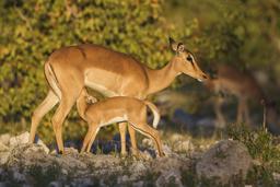Impala et son petit en Namibie. Source : http://data.abuledu.org/URI/550641af-impala-et-son-petit-en-namibie