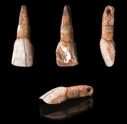 Incisive de bovidé percée de la grotte de Gargas. Source : http://data.abuledu.org/URI/54b661d3-incisive-de-bovide-percee-de-la-grotte-de-gargas