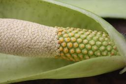 Inflorescence d'Anchomanes difformis. Source : http://data.abuledu.org/URI/54870d9b-inflorescence-d-anchomanes-difformis