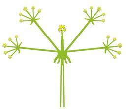 Inflorescence de l'ombelle composée. Source : http://data.abuledu.org/URI/532bdf8b-inflorescence-de-l-ombelle-composee