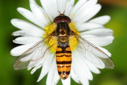 Insecte posé sur une pâquerette. Source : http://data.abuledu.org/URI/5398e707-insecte-pose-sur-une-paquerette