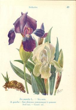 Iris pumila de jardin. Source : http://data.abuledu.org/URI/53ad820b-iris-pumila-de-jardin