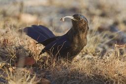 Irrisor namaquois en Namibie. Source : http://data.abuledu.org/URI/55075934-irrisor-namaquois-en-namibie