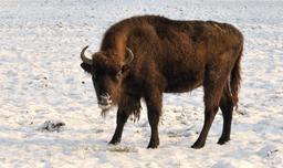 Jeune bison en hiver. Source : http://data.abuledu.org/URI/564cd648-jeune-bison-en-hiver