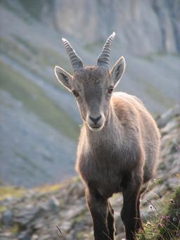 Jeune cabri des Alpes. Source : http://data.abuledu.org/URI/516d47df-jeune-cabri-des-alpes