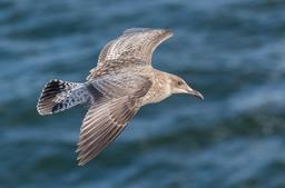 Jeune goéland argenté en vol rapide. Source : http://data.abuledu.org/URI/54cffcb8-jeune-goeland-argente-en-vol-rapide