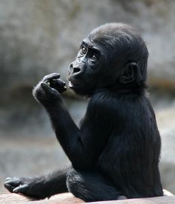 Jeune gorille des plaines de l'Ouest. Source : http://data.abuledu.org/URI/54fe1b82-jeune-gorille-des-plaines-de-l-ouest