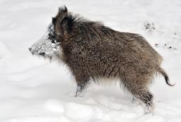 Jeune sanglier dans la neige. Source : http://data.abuledu.org/URI/564cda9f-jeune-sanglier-dans-la-neige