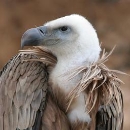 Jeune vautour. Source : http://data.abuledu.org/URI/503284e5-jeune-vautour