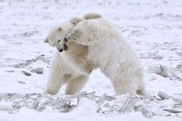 Jeux d'oursons polaires. Source : http://data.abuledu.org/URI/51bc7938-jeux-d-oursons-polaires