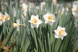 Jonquilles en fleurs. Source : http://data.abuledu.org/URI/5517f417-jonquilles-en-fleurs