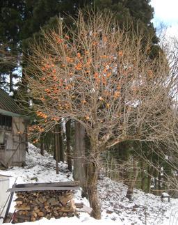Kakis en hiver au Japon. Source : http://data.abuledu.org/URI/5670b6d4-kakis-en-hiver-au-japon