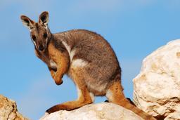 Kangourou. Source : http://data.abuledu.org/URI/47f55c88-kangourou