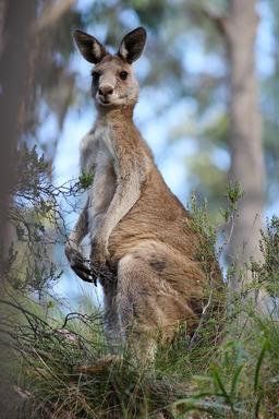 Kangourou gris. Source : http://data.abuledu.org/URI/47f55c0b-kangourou-gris