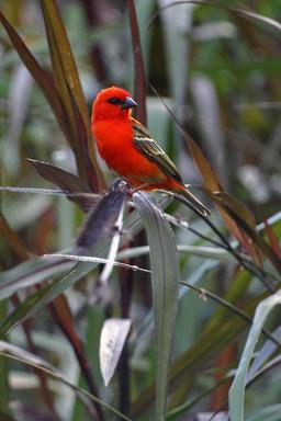 Kardinal mâle de La Réunion. Source : http://data.abuledu.org/URI/521bef96-kardinal-male-de-la-reunion