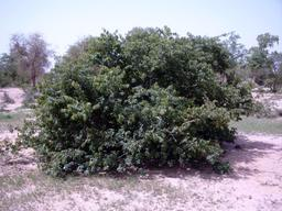 Kinkeliba au Burkina Faso. Source : http://data.abuledu.org/URI/548a0672-kinkeliba-au-burkina-faso
