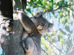 koala. Source : http://data.abuledu.org/URI/50618a1c-koala