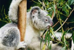 Koala d'Australie. Source : http://data.abuledu.org/URI/50e25d6c-koala-d-australie