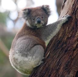 Koala dans un arbre. Source : http://data.abuledu.org/URI/54df8655-koala-dans-un-arbre