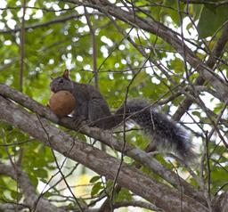 L'écureuil affamé. Source : http://data.abuledu.org/URI/533f306c-l-ecureuil-affame