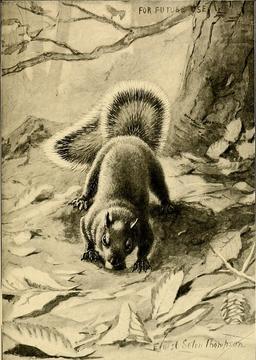 L'écureuil gris recherche une cachette dans la neige. Source : http://data.abuledu.org/URI/587ea687-l-ecureuil-gris-recherche-une-cachette-dans-la-neige