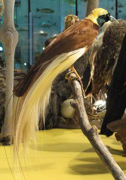 L'oiseau de paradis. Source : http://data.abuledu.org/URI/5856fe13-l-oiseau-de-paradis
