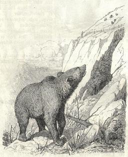 L'ours brun. Source : http://data.abuledu.org/URI/51fcfe1b-l-ours-brun