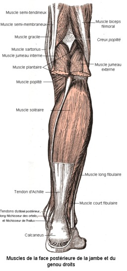 La jambe et ses muscles. Source : http://data.abuledu.org/URI/501bc3bd-la-jambe-et-ses-muscles