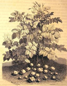 La pomme de terre et les tubercules féculents de ses racines. Source : http://data.abuledu.org/URI/56bbaaaa-la-pomme-de-terre-et-les-tubercules-feculents-de-ses-racines