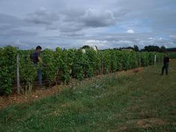 Labour dans les vignes du Sauternais en août. Source : http://data.abuledu.org/URI/5435b42a-labour-dans-les-vignes-du-sauternais-en-aout