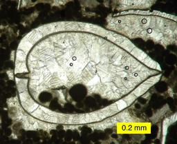 Lame mice de bivalve. Source : http://data.abuledu.org/URI/50954d6e-lame-mice-de-bivalve