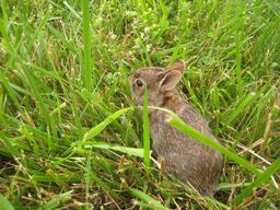 Lapereau guettant dans l'herbe. Source : http://data.abuledu.org/URI/535a58e9-lapereau-guettant-dans-l-herbe