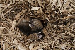 Lapereaux dans leur nid de copeaux de bois. Source : http://data.abuledu.org/URI/535a5739-lapereaux-dans-leur-nid-de-copeaux-de-bois