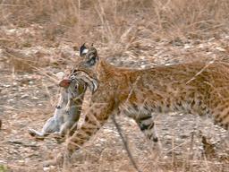 Lapin attrapé par un lynx. Source : http://data.abuledu.org/URI/53052c59-lapin-attrape-par-un-lynx