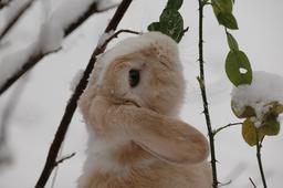 Lapin dans la neige. Source : http://data.abuledu.org/URI/535a597a-lapin-dans-la-neige