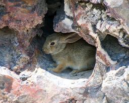 Lapin du désert dans son abri de pierre. Source : http://data.abuledu.org/URI/53052d2e-lapin-du-desert-dans-son-abri-de-pierre
