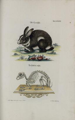 Lapin et squelette. Source : http://data.abuledu.org/URI/515a7bfd-lapin-et-squelette