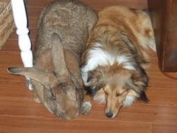 Lapin géant et chien de berger. Source : http://data.abuledu.org/URI/530528e4-lapin-geant-et-chien-de-berger