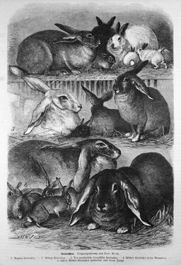 Lapins domestiques. Source : http://data.abuledu.org/URI/530530e3-lapins-domestiques
