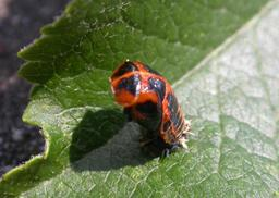 Larve de coccinelle en train de muer. Source : http://data.abuledu.org/URI/534d61bb-larve-de-coccinelle-en-train-de-muer