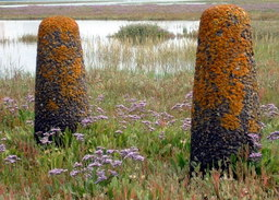 Lavande de mer en fleurs dans les marais. Source : http://data.abuledu.org/URI/507026a9-lavande-de-mer-en-fleurs-dans-les-marais