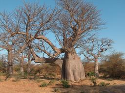 Le Baobab Eléphant de Bandia au Sénégal. Source : http://data.abuledu.org/URI/5486af9e-le-baobab-elephant-de-bandia-au-senegal
