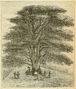 Le cèdre du Jardin des Plantes. Source : http://data.abuledu.org/URI/524db7ec-le-cedre-du-jardin-des-plantes