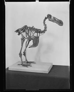 Le Dodo de Delft en 1961. Source : http://data.abuledu.org/URI/58570805-le-dodo-de-delft-en-1961