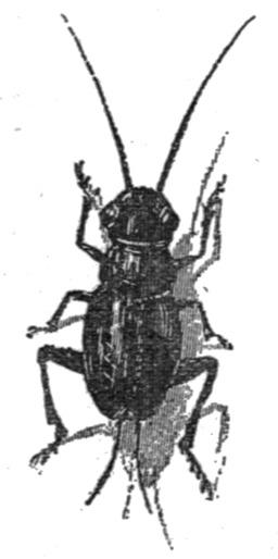 Le grillon-parleur de Pinocchio. Source : http://data.abuledu.org/URI/51a1ff0a-le-grillon-parleur-de-pinocchio