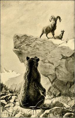 Le grizzly et le bélier. Source : http://data.abuledu.org/URI/587ea4cd-le-grizzly-et-le-belier