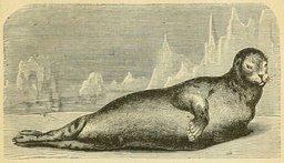 Le phoque ou veau marin. Source : http://data.abuledu.org/URI/524eb57a-le-phoque-ou-veau-marin